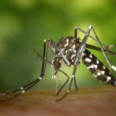Imagen del Mosquito Tigre (Archivo).