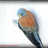 Imagen del cernícalo primilla que se puede seguir en la webcam