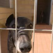 Galgos: la raza de perros abandonada y maltratada tras la época de caza