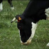 El 'mal de las vacas locas', la peor crisis sanitaria que ha sufrido la Unión Europea