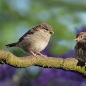 Dos gorriones sobre una rama