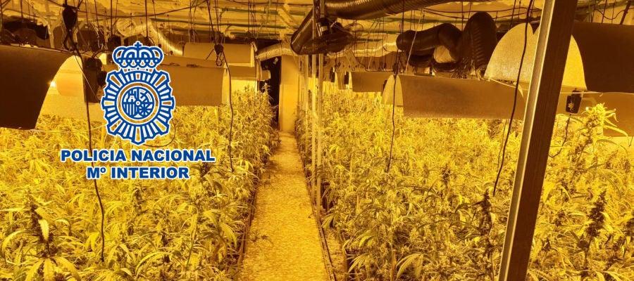 Plantación de marihuana en casa de campo de Elche.