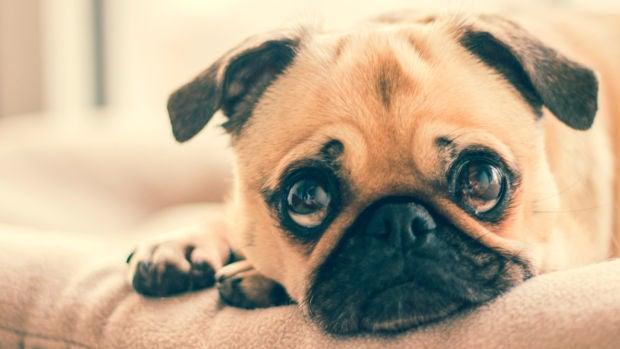 Un estudio explica cómo los perros son capaces de poner cara de tristeza para enternecer a los humanos