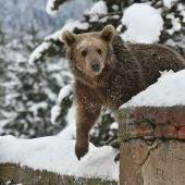 Una cría de oso grizzly en EEUU