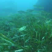 Imagen de la posidonia oceánica
