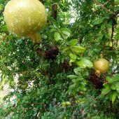 Granados, uno de los productos estrella del Camp d'Elx.