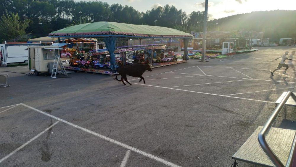 Imagen de la vaca que se escapó en Almenara.
