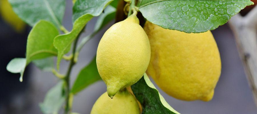 Nueva via para acabar con la alternancia de cosechas en citricos