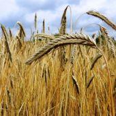 Genetica para alimentar el mundo con trigo