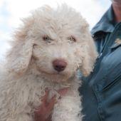 'Dylan', el perro sustituto de 'Marley' para ayudar a la Guardia Civil