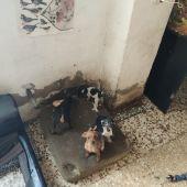Perros encontrados por la Policía Local en la vivienda de Elche.