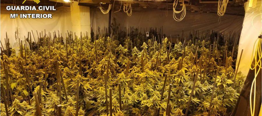 Plantación de marihuana en Crevillent.