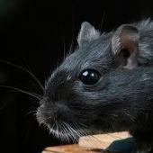 Imagen de archivo de una rata