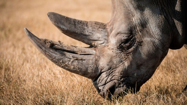 El curioso invento de unos científicos para salvar a los rinocerontes de su extinción