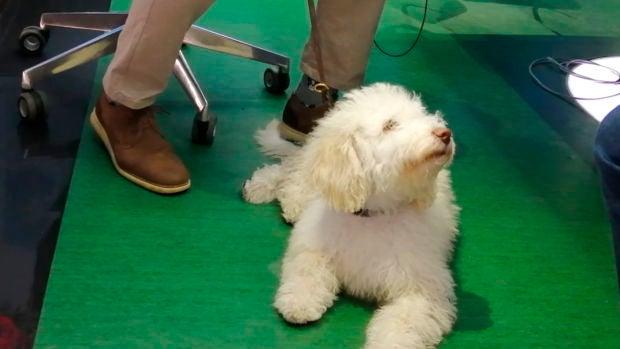 Así es Dylan, uno de los perros que ayudan a la Guardia Civil: Conocemos cómo se preparan los agentes caninos
