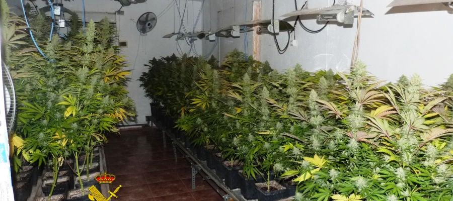 Plantas de marihuana cultivadas por el detenido.