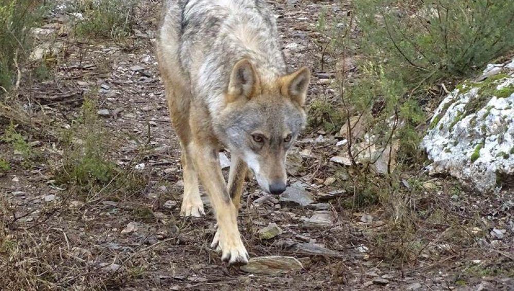 Fotografía de archivo de un lobo ibérico