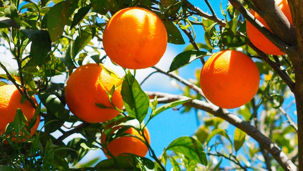 Imagen de archivo de naranjas.