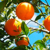 Un naranjo repleto de naranjas