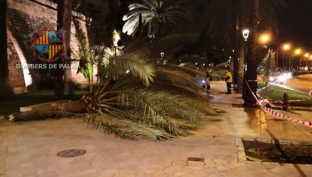 El viento ha provocado la caída de siete palmeras en el Passeig Sagrera de Palma.