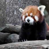 Panda rojo en el Zoo de Jerez