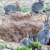 La Junta ha declarado comarcas de emergencia cinegética por los daños ocasiones por el conejo
