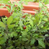 Mariquita en tomatera