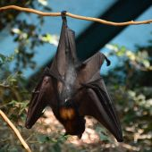 Imagen de archivo de un murciélago