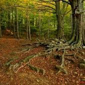 El ritmo de captura de CO2 de los bosques catalanes disminuye un 17 en 25 anos