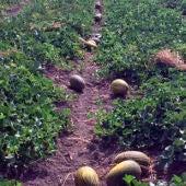Plantación de melón de Carrizales de Elche.