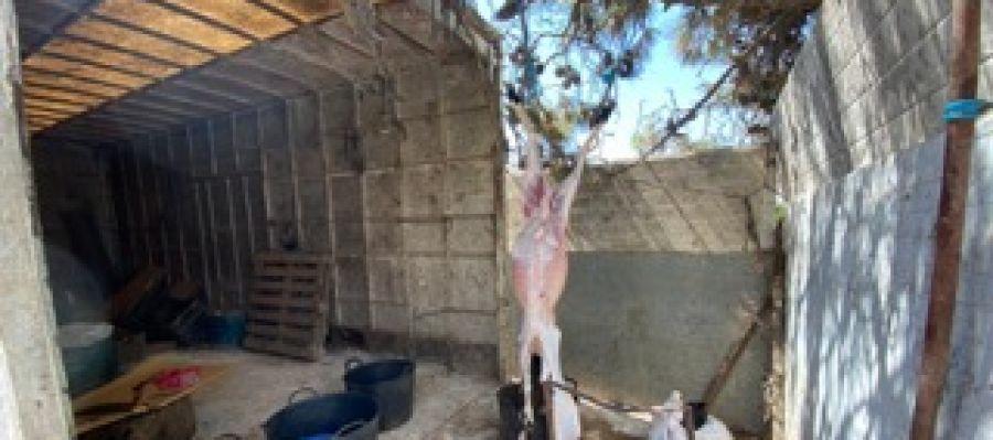 Cordero sacrificado en el matadero clandestino localizado en Elche.