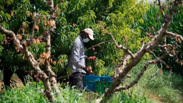 Un temporero, con su máscara de protección trabaja en la recolección de fruta