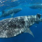 Día Mundial del Tiburon Ballena