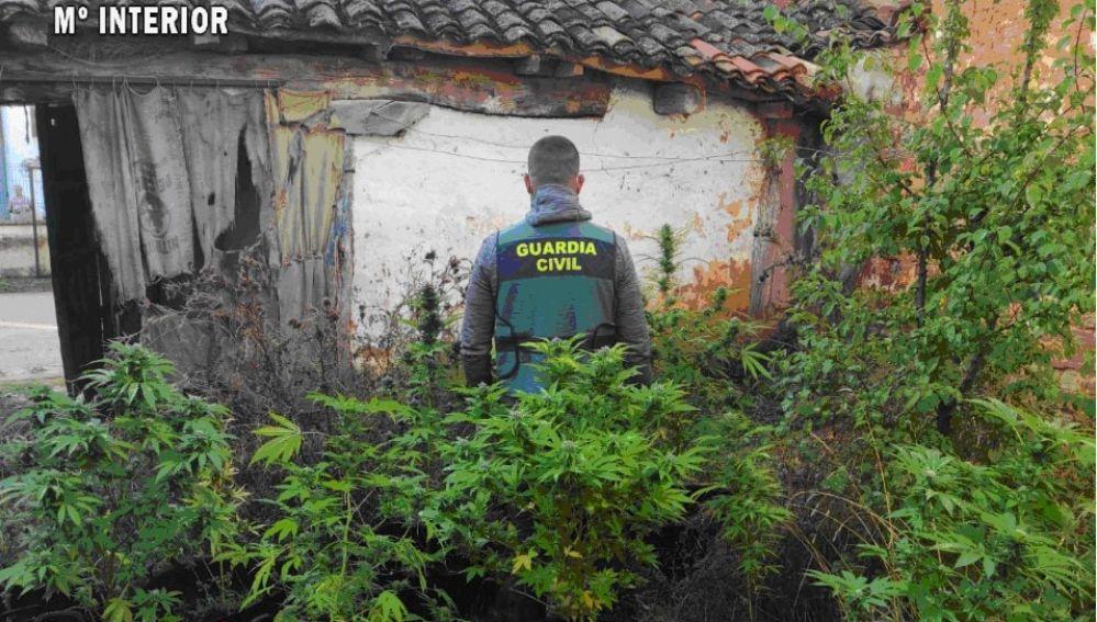 La Guardia Civil desmantela dos plantaciones de marihuana en la provincia de Palencia