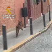 Lince ibérico en Rociana