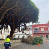 Podas de ficus en Puerto Real