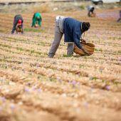 La DOP Azafrán de La Mancha estima que la cosecha estará en torno a los 600 kg