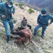 La Guardia Civil investiga a una persona por un delito de caza que causó la muerte de un ejemplar hembra de oso pardo