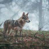 La polémica en torno al lobo enfrenta a los partidos políticos