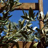 El olivar del Bajo Aragón, el más afectado por Filomena