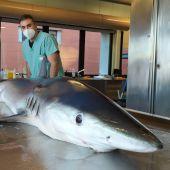 Necropsia a tiburón azul