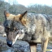 El lobo en Galicia