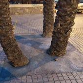 Alcorque con tres palmeras que ha sido tapado con cemento en Elche.