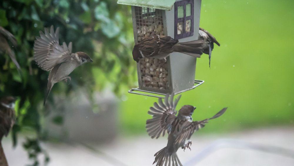 El Proyecto SOS Gorriones pretende fomentar la conservación y/o recuperación de las poblaciones de aves urbanas en general y las poblaciones de gorrión común en particular