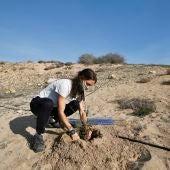 Plantación de 60 enebros marinos (Juniperus macrocarpa), una especie protegida por la ley valenciana con muy escasas poblaciones naturales