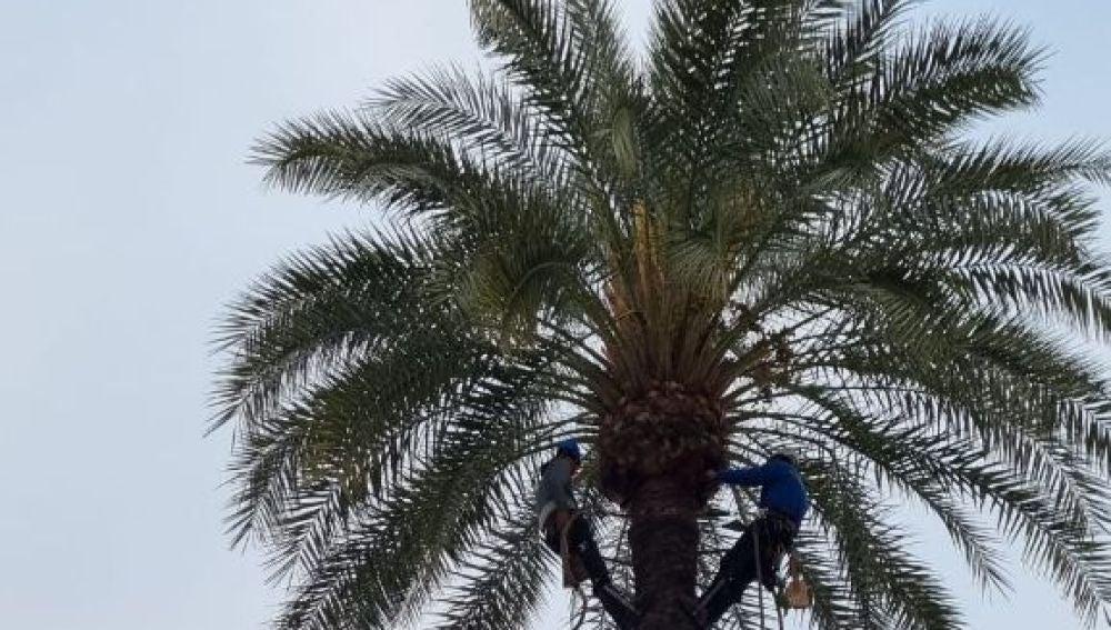 Comienza la poda y el tratamiento contra el picudo rojo de más de 600 palmeras de Ibiza