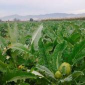 Cultivos de alcachofa en la Vega Baja alicantina