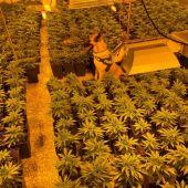 Plantación de marihuana desmantelada por la Policía Local de Elche.