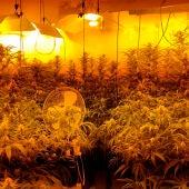 Desmantelada una plantación de marihuana en Horcajo de Santiago (Cuenca)