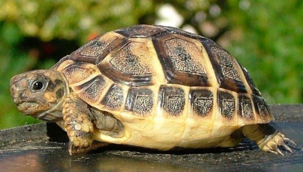 Un ejemplar de tortuga mediterránea.